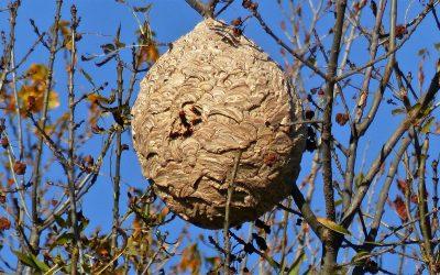 Nids de frelons asiatiques : pas de danger